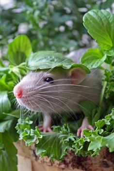 Rats are omnivores.  They can survive on rat foods which consist of nuts, seeds, and dried fruit, but they also enjoy just about anything you can think to put in their cage.  I would feed my rats fruit, veggies (they loved lettuce)