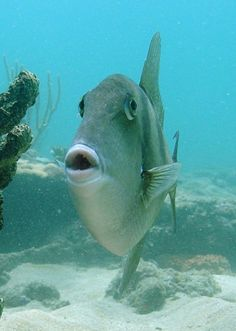 Pucker Up - A trigger fish around Fort Lauderdale