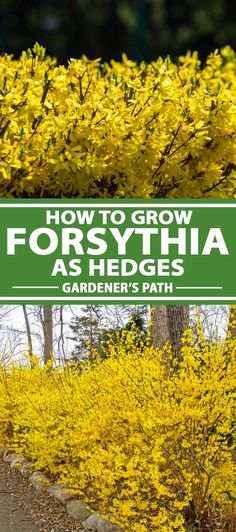7 Tips for Growing a Forsythia Hedge | Gardener's Path