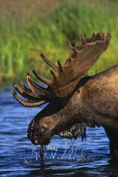 One danger that Brian never had to concern himself with in Hampton would be aggressive moose. While hunting for food, a large and territorial moose tackles Brian multiple times causing severe damage to his ribcage.