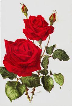 ROSE Original Vintage Botanical Print Red Rose By ModernAntiquary