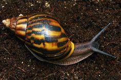 African Snail, Giant African Land Snails, Snail Farming, Slug, Seashells, Ghana, Animals And Pets, Ladybug, Aquarium