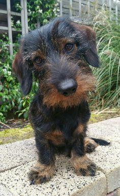 Marley Dwergteckel ruwhaar   Pawshake #dachshund
