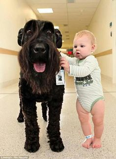 Giant Schnauzer helping children to walk on his hospital rounds...