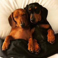 20 Dachshunds That Will Make Your Heart Melt - Sausage Dog Central