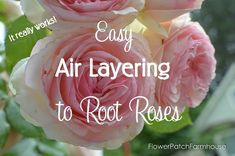 Front Garden Landscaping Air Layering to Root Roses - Flower Patch Farmhouse Air Layering, Rooting Roses, Rose Cuttings, Front Garden Landscape, Planting Roses, Planting Plants, Garden Plants, Big Plants, Flower Patch