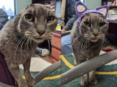 Earless stray cat gets new crocheted ones — and a forever home Pet Adoption Center, Mighty Mouse, Life Insurance, Pet Health, Humane Society, Animal Kingdom, Lions, Ears, Kitty