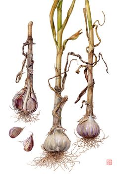 Asuka Hishiki. Garlic - Allium sativum   15 3/4 x 11   watercolor on paper