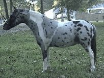 Pintaloosa: a cross between an appaloosa-spotted horse and a pinto-spotted horse.  Frowned upon in horses, but sought-after in miniatures like this one.  The degradation of individual patterns is feared if registries were to allow or encourage this pattern-mixing.