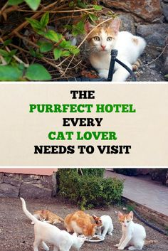 Do you want to know all about the purrfect hotel every cat lover needs to visit? Click here for story and photos: http://www.traveling-cats.com/2016/07/cats-from-eftalou-lesbos.html (cats, hotels, best hotels Greece, best hotels Lesvos, best hotels Eftalou, purrfect, cat lovers, hotels in Greece)