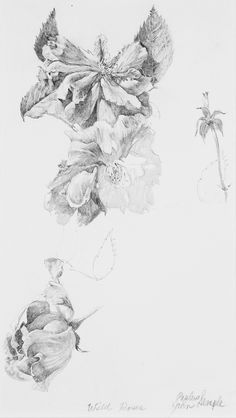 """""""Study for Wild Roses."""" Pencil on paper, 8 x 5 in."""