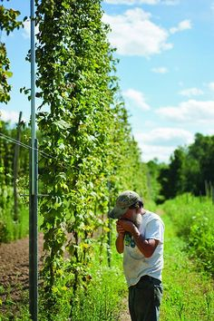 Ray Bradley of Bradley Farm in New Paltz, NY smelling the hops. (Photo - ROY GUMPEL)