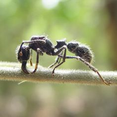 Schmidt Pain Index of Insect Stings: Bullet Ant