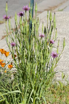 Salsify Goatsbeard Oyster plant Tragopogon spp. roots are edible raw. roots can be dried and ground. roots can be roasted as coffee substitu...
