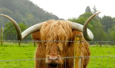 red-haired scottish cow