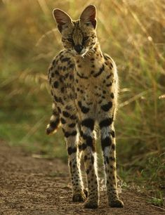 The serval is a long-legged wildcat native to Africa. This cat looks as if it's made from the leftover parts of other animals, having such a small head, tawny coat with black spots and large erect ears without tufts.