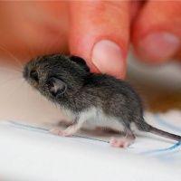 Ratinho magrelo