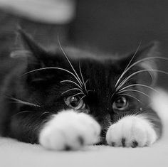 Precious Black & White Kitten