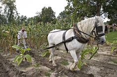 Horses are used to weed between rows of tobacco.