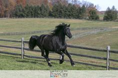 Friesian Horse for Sale on www.PonyCity.com