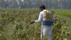 Cotton is the most pesticide-intensive crop that causes serious health problems. (Courtesy of The True Cost) http://www.visiontimes.com/2015/12/21/powerful-documentary-explores-our-fast-fashion-industry.html