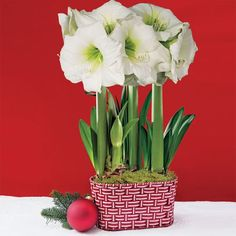 Grand Trumpet® Too Sweet Amaryllis Triple: The Perfect Gift for Anyone of Any Age! A delight for those from 2 to 92, this flowering gift fills the room with huge, snowy white blooms. They grow so quickly, they're a true wonder for the little ones in the house who can experience the joy of actually measuring their daily growth! Reaching 18 inches high, they're pre-planted in a fun, festive, red and white basket that looks almost good enough to eat!