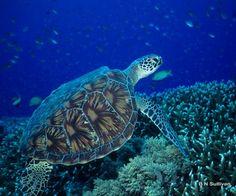Green Sea Turtle (Chelonia mydas) - Pulau Sipadan, Malaysia - photo by B N Sullivan for TheRightBlue.com