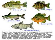 Types of fish to stock in florida ponds types of fish to for Pond fish stocking calculator