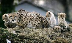 Drástica baja de población pone en peligro al guepardo...