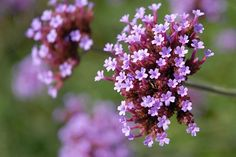 Verbena flowers (Verbenaceae) grow as ground cover and tall accent plants, but all are prolific bloomers for your butterfly and container garden. Full Sun Flowers, List Of Flowers, Annual Flowers, Purple Flowers, Beautiful Flowers, Beautiful Dream, Summer Flowers, Balcony Plants, Outdoor Plants
