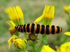 The Cinnabar Caterpillar