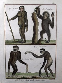 1790 Folio Bonnaterre Monkeys Apes Gibbon Superb Handcolored Engraving | eBay