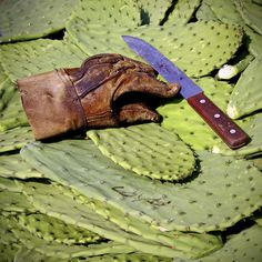 About harvest of nopal in Mexico as food crop.