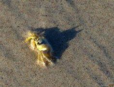 batman shadow crab