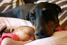 Best Family Dog - Doberman Pinscher Very True! :)