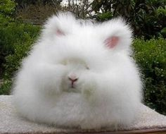 Yet another real Angora rabbit. How does it see?