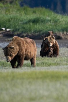Grizzly Bear, Katmai Coast , United States Protect the Cubs ~ Cute Wild Animals, Brother Bear, Visa Gift Card, Brown Bear, Photo Contest, Sea Creatures, Bears, Wildlife, Coast