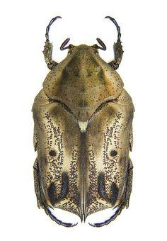 Hoplopyga liturata SCRABIDAE subfamily SCARABINAE
