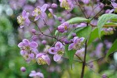THALICTRUM - Frøstjerne, farve: magenta, lysforhold: sol/halvskygge, højde: 125 cm, blomstring: juni - juli, velegnet til snit, kan vokse i surbundsbed.