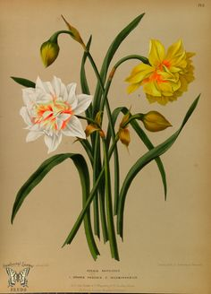 https://flic.kr/p/oksFLi | Double Daffodils. Album van Eeden. Harlem's Flora, door A.C. Van Eeden & Co. (1872) | From our collection of botanical photographs, illustrations, and paintings.  We hope you will enjoy these images as much as we do.