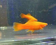 Trio Red Red Eye Swordtails - Live Fish $14.99 Aquarium Fish For Sale, Tropical Fish Aquarium, Fish Aquariums, Aquarium Ideas, Aquarium Fish Tank, Swordtail Fish, Selective Breeding, Live Fish