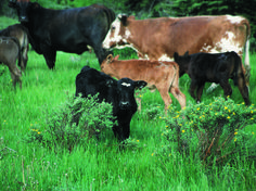 Genetic Parasite Control in Cattle