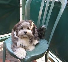 A grey with white Havanese puppy is laying outside on a green plastic  chair. ""