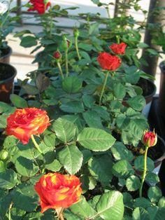 Rózsa fajták Beautiful Flowers, Pergola, Plants, Outdoor Pergola, Plant, Planets