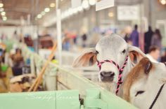 Taken at the Fort Worth Stock Show & Rodeo. Livestock photography is so. I feel like I've been living in the cattle barns. Cattle Barn, Show Cattle, Fort Worth Stock Show, Show Steers, Houston Rodeo, Showing Livestock, Ffa, Show Horses, Beautiful Creatures
