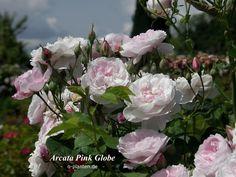 """Arcata Pink Globe"" Rose by HelpMeFind.com user O-Planten"