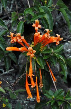 Brilliant orange flame vine blooms among rocks and lush vegetation on the Big Island of Hawaii