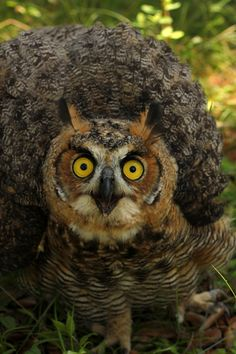 Great horned owl | Flickr - Photo Sharing!