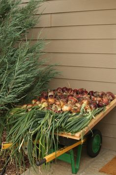 """Nina Eadie's garden, Montana-great idea, place a screen over a wheel barrow to """"dry"""" out your onions before storing them, be sure to place in shade"""