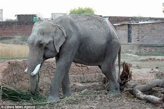 Mohan is kept shackled by his owners and is often forced to beg and perform for food and m...